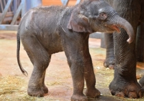 В семье слонов Ростовского зоопарка родилась малышка