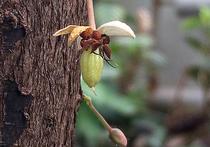 Шоколадное дерево в Ботаническом саду начало плодоносить